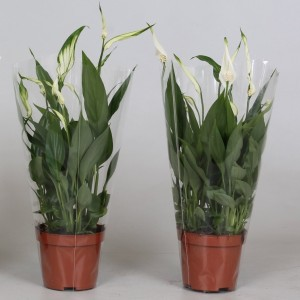 Spathiphyllum 'Alana' (Kwekerij J. de Groot BV)