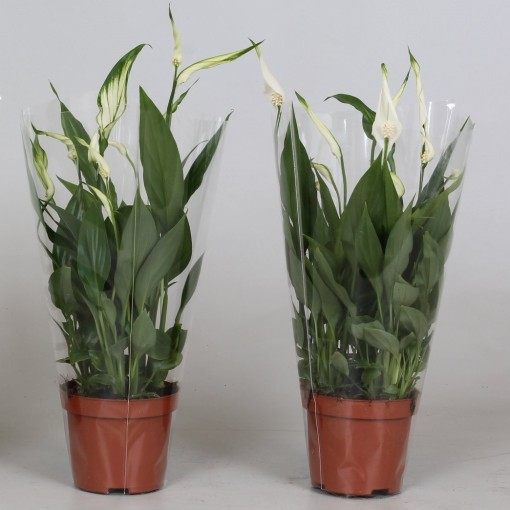 Spathiphyllum 'Alana' (Groot BV, Kwekerij J. de )