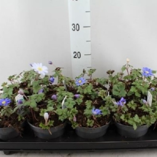 Anemone blanda 'Blue Shades' (Komen, Kwekerij MJ )