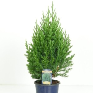 Juniperus chinensis 'Stricta' (Kwekerij Vredebest)