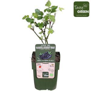 Rubus fruticosus 'Black Satin'