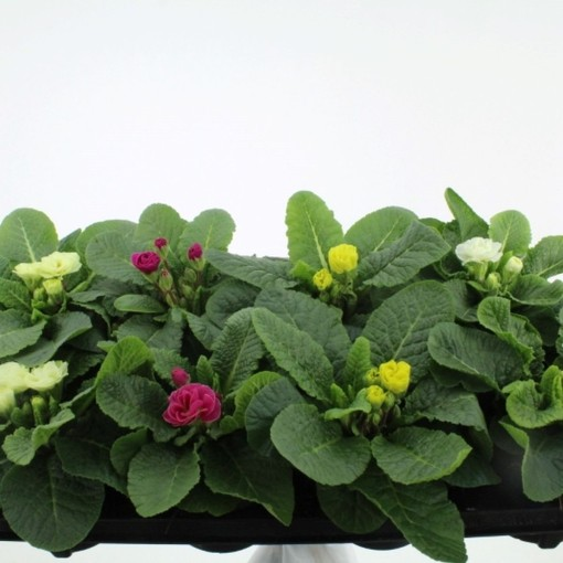 Primula RUBENS MIX (Noordpoel, Kwekerij de)