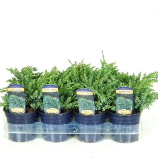 Juniperus squamata 'Blue Carpet' (Vredebest, Kwekerij )