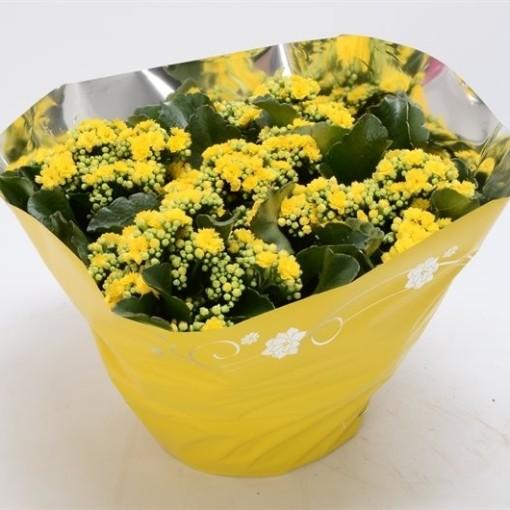 Kalanchoe blossfeldiana PERFECTA YELLOW (Bunnik Plants)