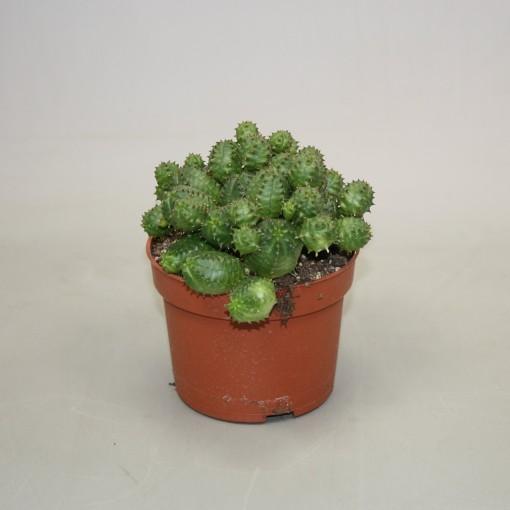 Euphorbia globosa (Ubink)