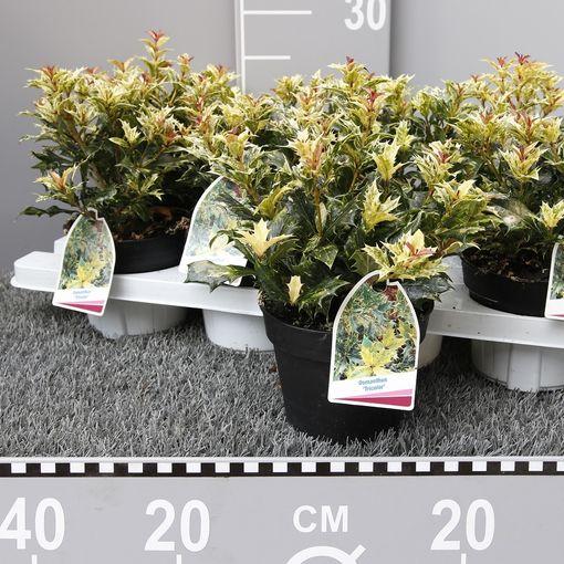 Osmanthus heterophyllus 'Goshiki' (Experts in Green)