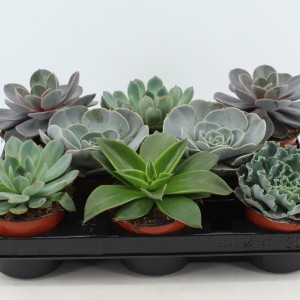 Echeveria MIX (Joy Plant)
