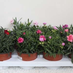 Dianthus SUPER TROUPER MIX
