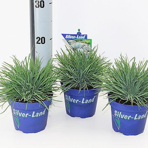 Koeleria glauca (Experts in Green)