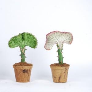 Euphorbia lactea CRISTATA MIX