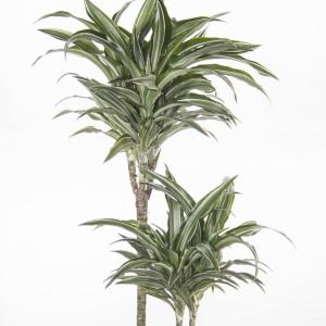 Dracaena fragrans 'Compacta Variegata'