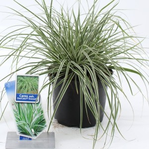 Carex oshimensis EVERCOLOR EVEREST (About Plants Zundert BV)