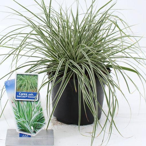 Carex oshimensis EVERCOLOR EVEREST (About Plants Zundert BV)