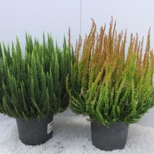 Calluna vulgaris SKYLINE MIX (Experts in Green)