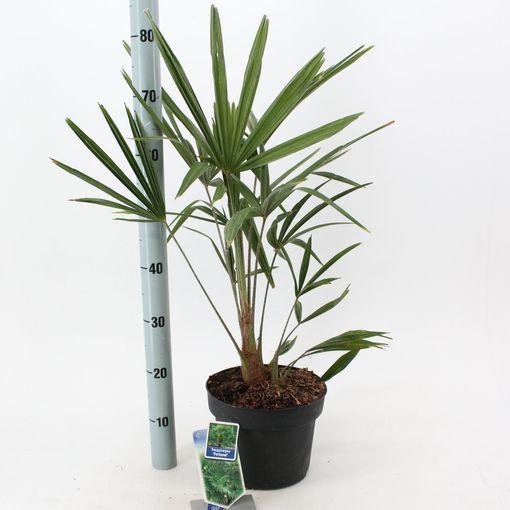 Trachycarpus fortunei (About Plants Zundert BV)