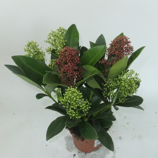 Skimmia japonica 'Finchy' (Experts in Green)