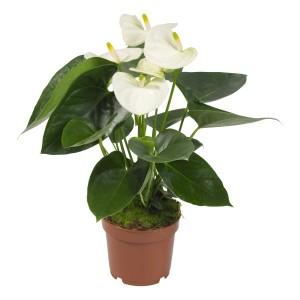 Anthurium SIERRA WHITE (Karma Plants)