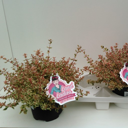 Abelia x grandiflora PINK LADY (Experts in Green)