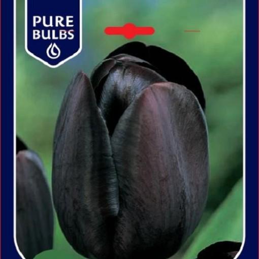 Tulipa 'Queen of Night' (Bosrand, Kwekerij de)
