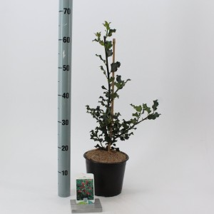 Ilex x meserveae 'Blue Angel'