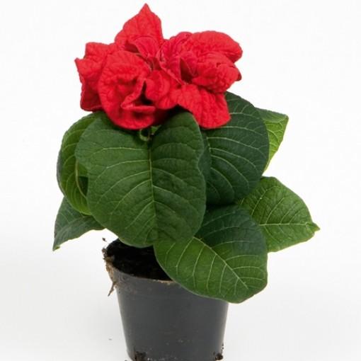 Euphorbia pulcherrima WINTER ROSE (Gasa DK)