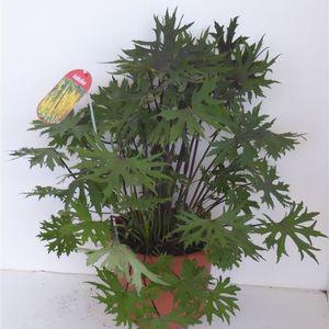 Ligularia dentata (Experts in Green)