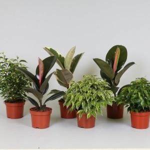 Ficus MIX (Kwekerij J. de Groot BV)