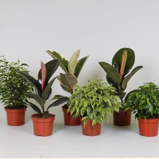 Ficus MIX (Groot BV, Kwekerij J. de )