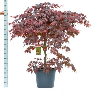 Acer palmatum 'Bloodgood' (Son & Koot BV)