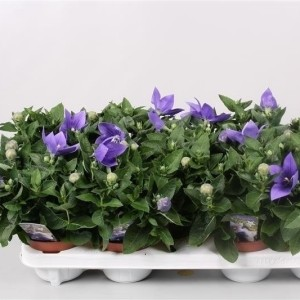 Platycodon grandiflorus 'Astra Blue' (Endhoven Flowering Plants)