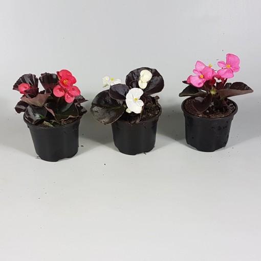 Begonia MIX (Croon, Kwekerij de)
