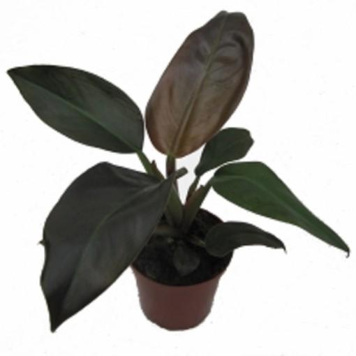 Philodendron ornatum (Gasa DK)