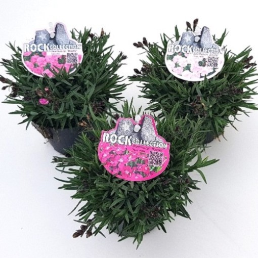 Dianthus MIX (Experts in Green)