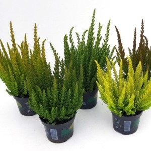 Calluna vulgaris SKYLINE MIX (Experts in Green)