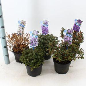Rhododendron impeditum MIX (About Plants Zundert BV)