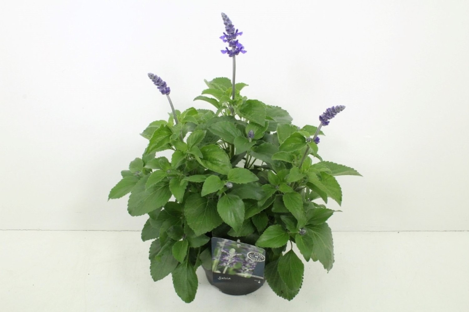 mystic spires improved salvia