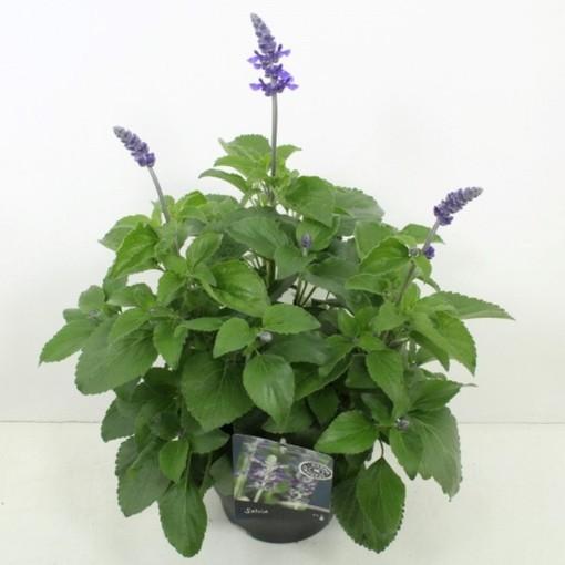Salvia MYSTIC SPIRES BLUE (Noordpoel, Kwekerij de)