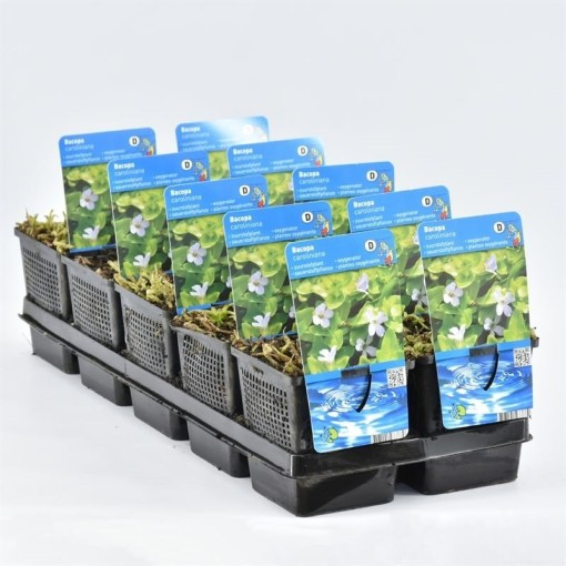 Bacopa caroliniana (Moerings Waterplanten)