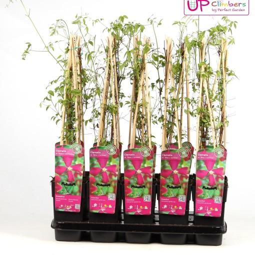 Clematis 'Madame Julia Correvon' (Hoogeveen Plants)