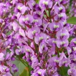 Hardenbergia violacea BLISS (Flora Toscana)