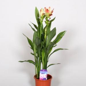 Curcuma alismatifolia SIAM SOLAR (BK Plant)