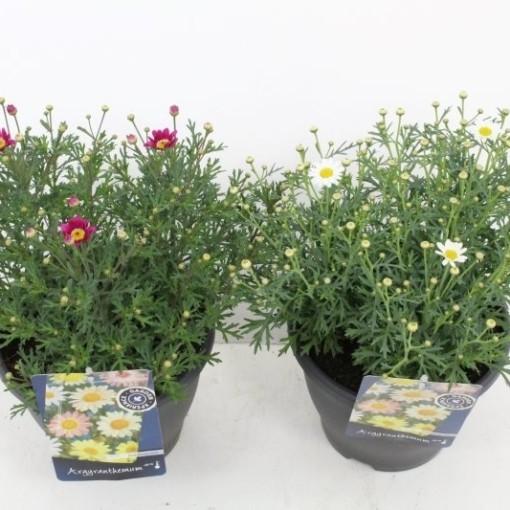 Argyranthemum frutescens MIX (Noordpoel, Kwekerij de)