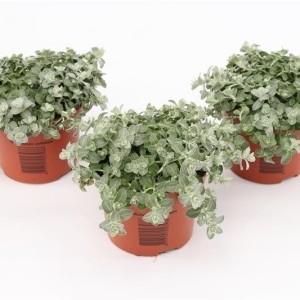 Helichrysum petiolare 'Minus' (Gebr. Grootscholten)