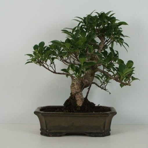 Ficus retusa (Trendy Bonsai BV)