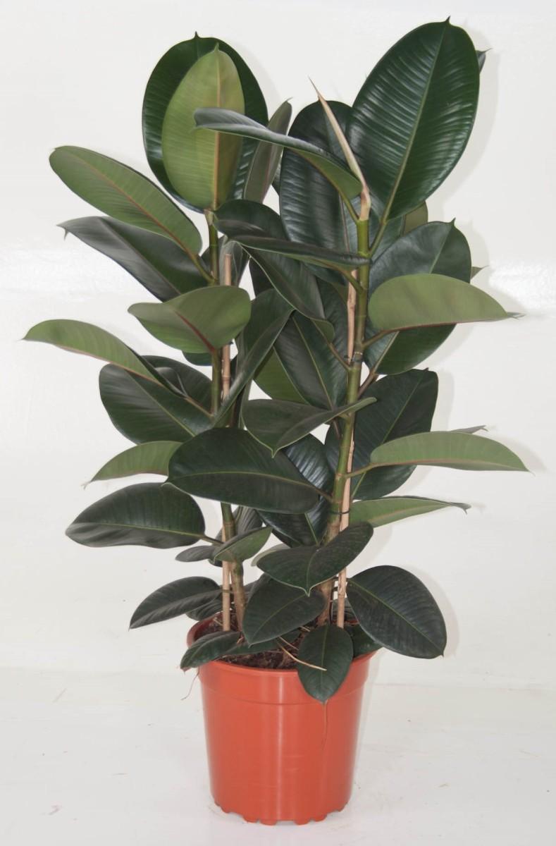 ficus elastica 39 robusta 39 p27cm h120cm floraccess wholesale of plants. Black Bedroom Furniture Sets. Home Design Ideas