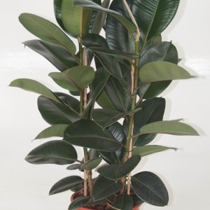 Ficus elastica 'Robusta' (Ammerlaan, The Green Innovater)