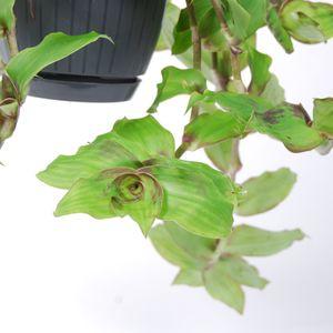 Callisia soconuscensis 'Dragon Tail' (Van der Arend Tropical Plantcenter)