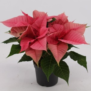 Euphorbia pulcherrima CHRISTMAS FEELINGS PINK (Kwekerij Jan van der Knaap)