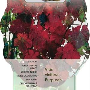 Vitis vinifera 'Purpurea' (BOGREEN Outdoor Plants)