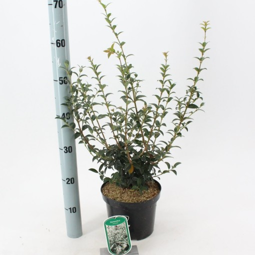 Osmanthus x burkwoodii (About Plants Zundert BV)